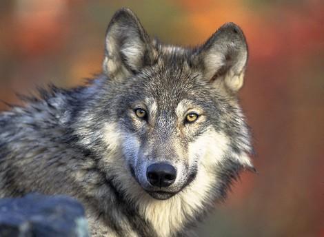 Der böse Wolf und die Medien
