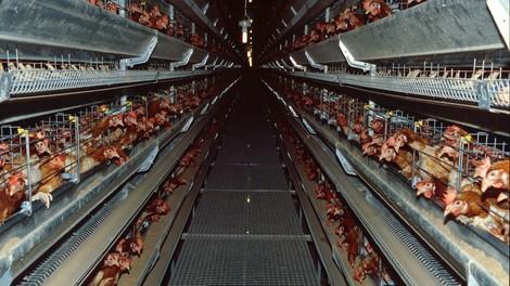 Aufbegehren der Hybridhühner